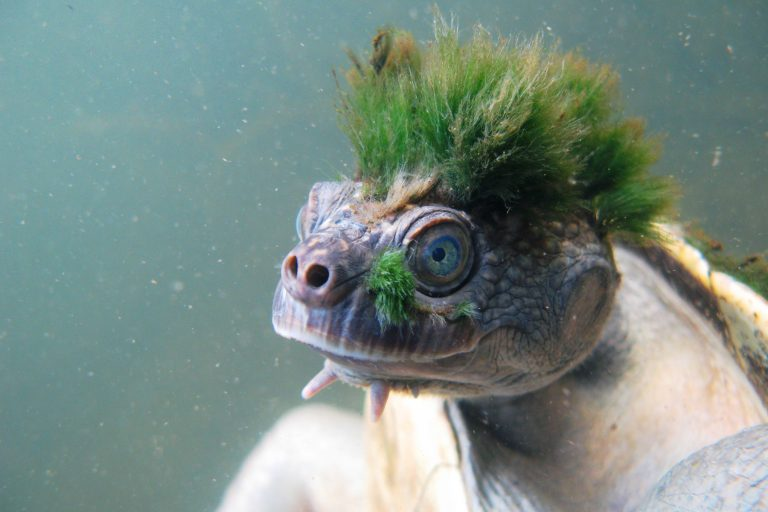 Able to stay underwater for up to three days, the Mary river turtle (Elusor macrurus) uses specialized breathing organs in its cloaca. Photo by: Chris Van Wyk courtesy of ZSL.