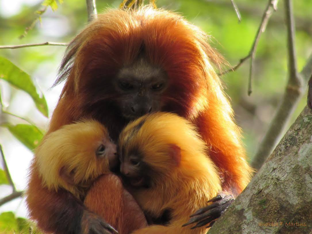 A golden lion tamarin. Photo courtesy AMLD.