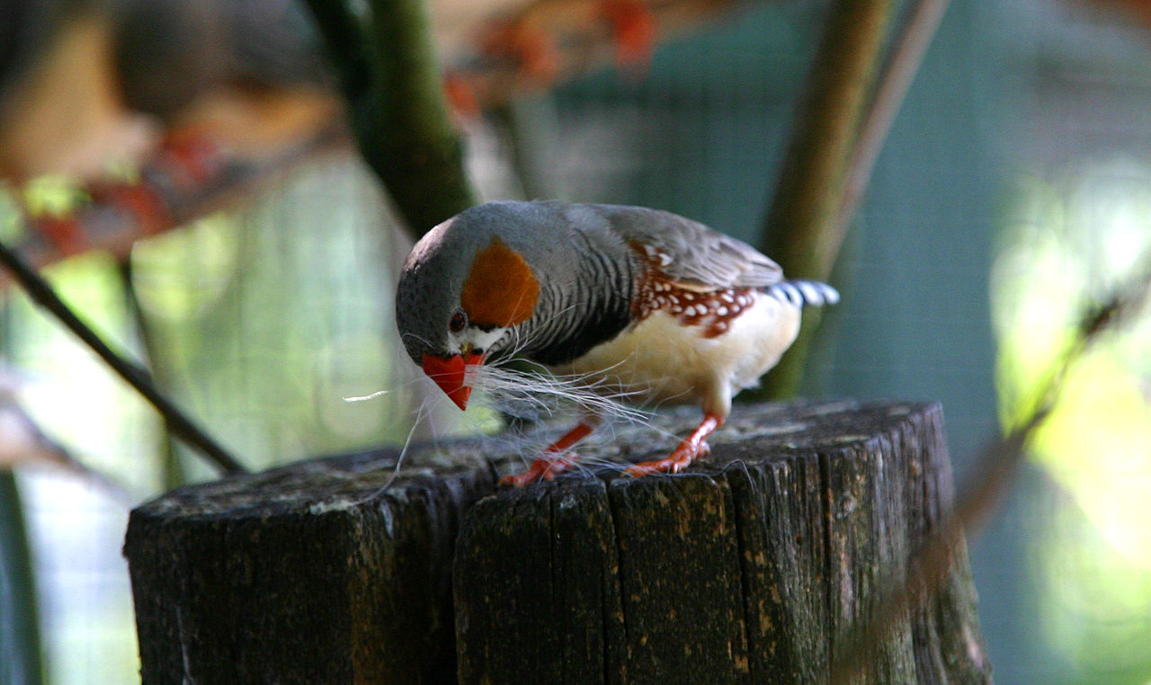A zebra finch, native to central Australia, collects nesting material. Like starlings, they inhabit a wide range of grasslands and open woodlands.