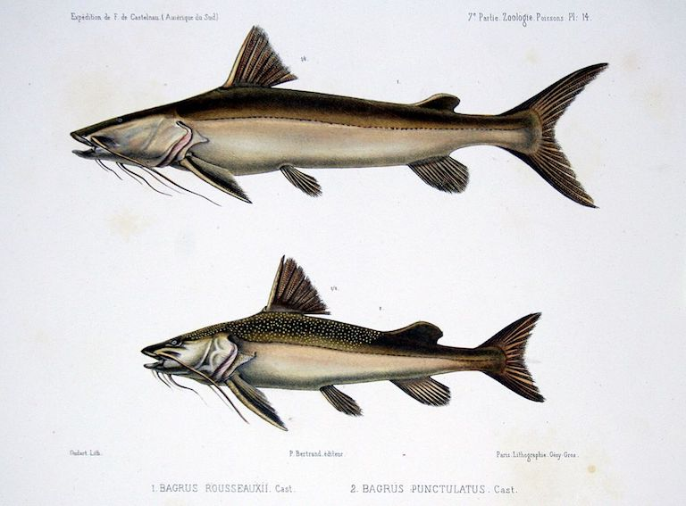Illustration of the goliath catfish (top, now named Brachyplatystoma rousseauxii) and another catfish of the Amazon Basin called the coroatá (bottom, now named Platynematichthys notatus) based on a French expedition in 1856. Image in public domain via Wikimedia Commons.