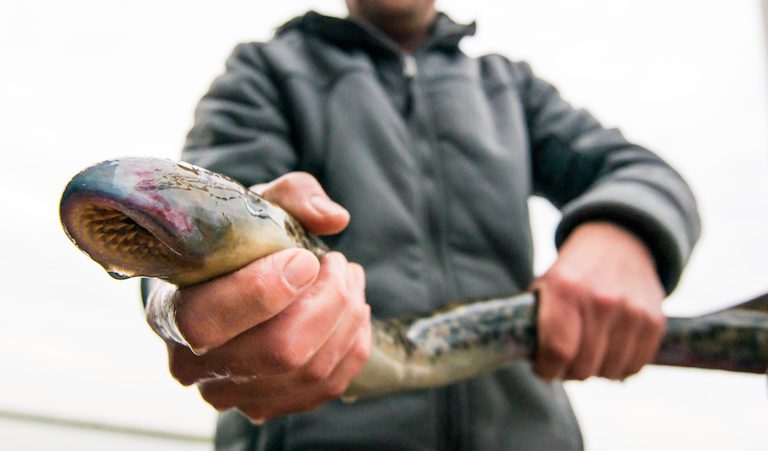 Sea lamprey caught during testing of a fish passage at the Afsluitdijk dike in the Netherlands. Image ©Ben Griffioen-WUR/IMARES.