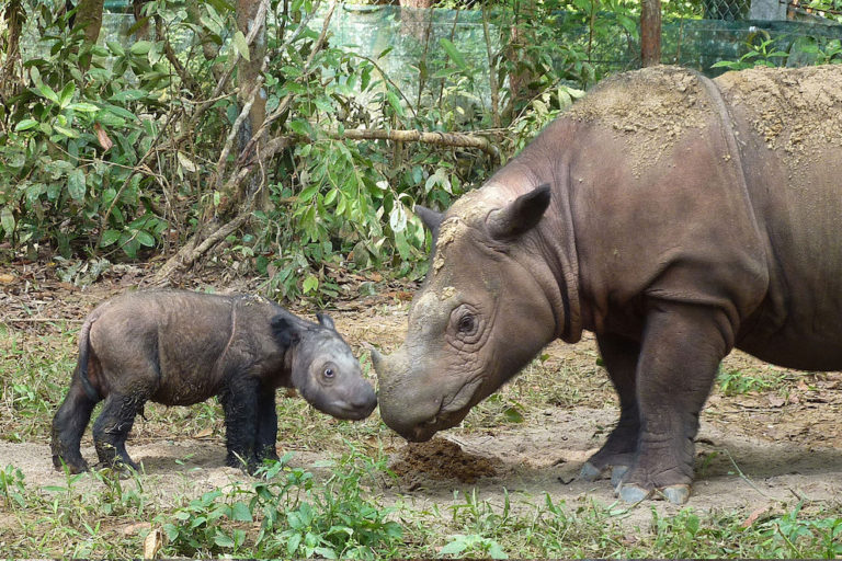 Love triangle complicates efforts to breed Sumatran rhinos