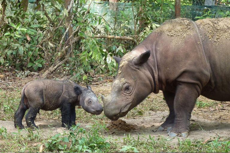 Love triangle complicates efforts to breed Sumatran rhinos