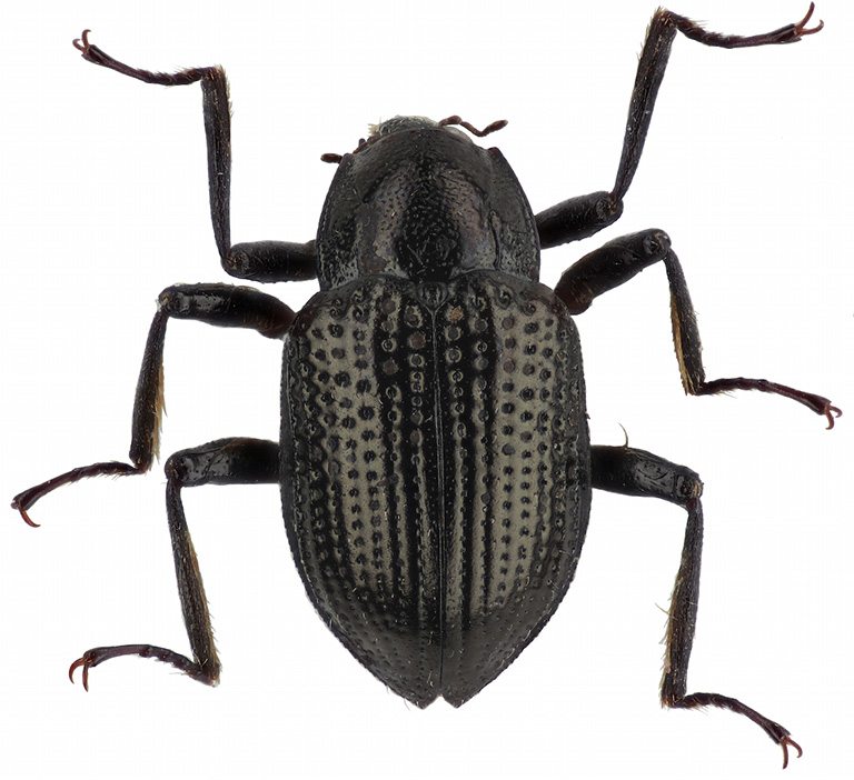 Leonardo Dicaprio's water beetle Grouvellinus leonardodicaprioi. Courtesy of Freitag et al. (2018)