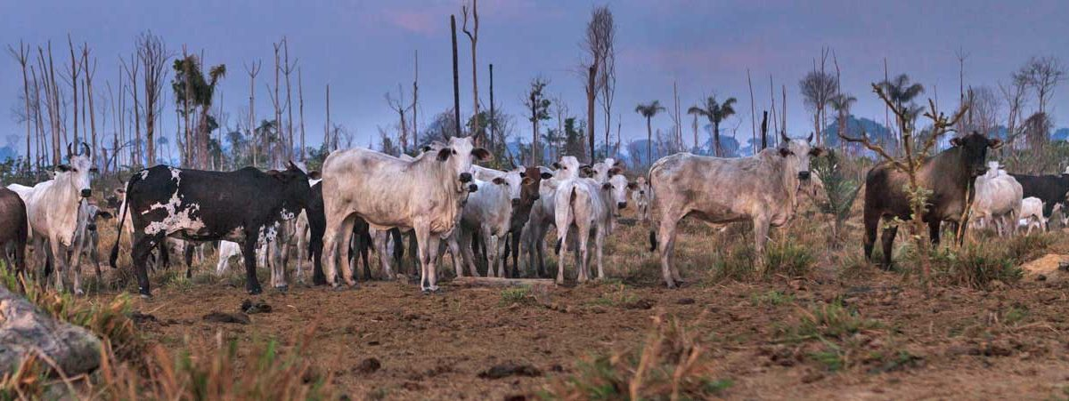 New film shines light on cattle industry link to Amazon deforestation