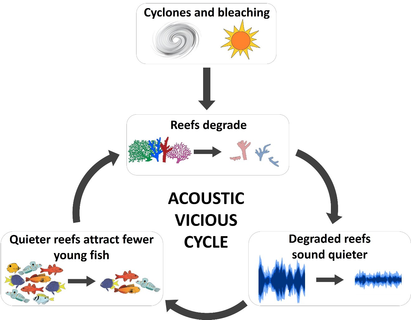 This schematic outlines how degradation caused by bleaching and cyclones changes the soundscape of a reef and, in turn, its functionality. A quieter, simpler soundscape makes reefs less attractive to young fishes, potentially reducing the populations of important algae-grazing species. Fewer fish and reduced grazing may exacerbate degradation, preventing recovery.