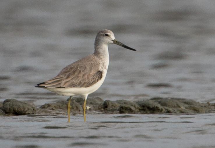 Nordmann's Greenshank (Tringa guttifer), photographed in Thailand. Image by Jason Thompson via Wikimedia Commons (CC BY 2.0).