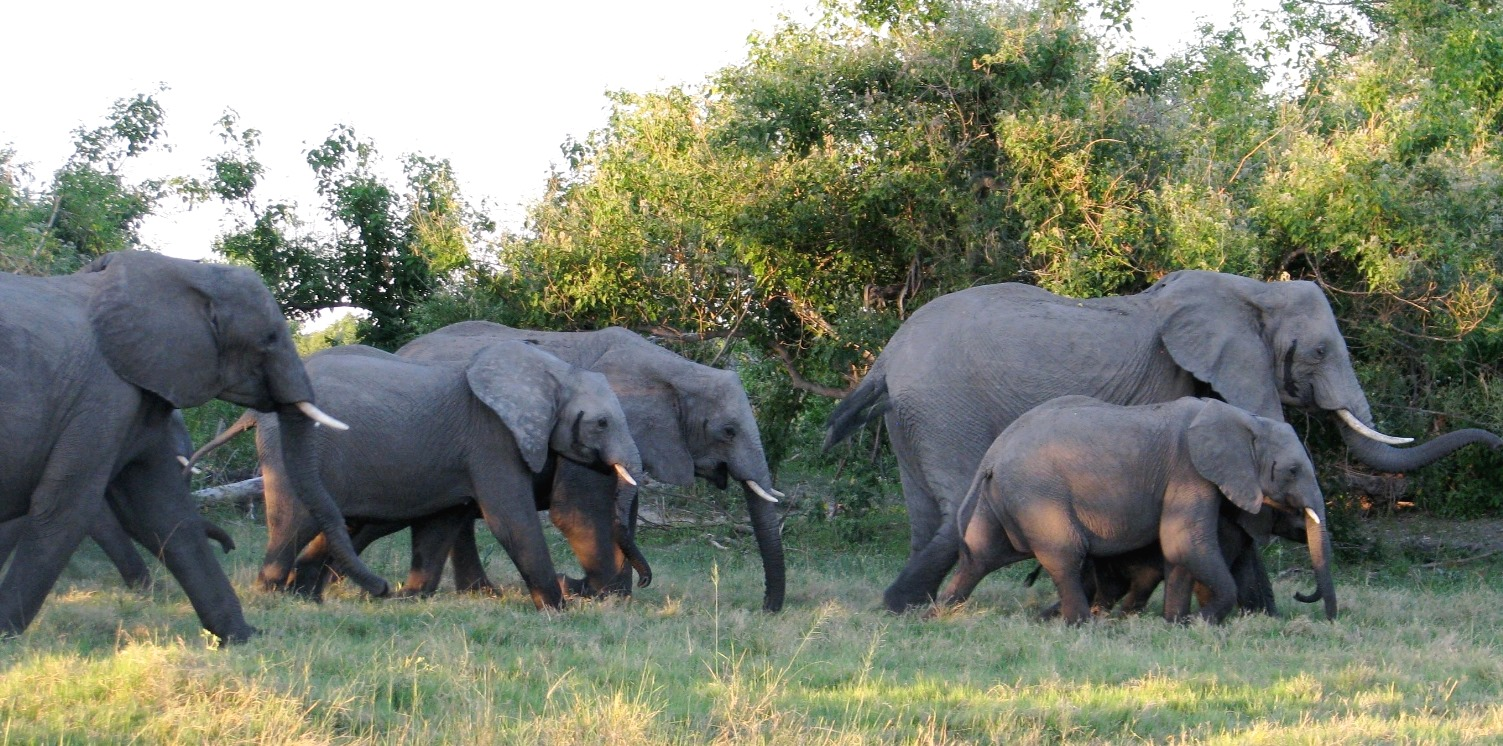 An elephant generates a stronger seismic signal while walking fast than while walking slowly.
