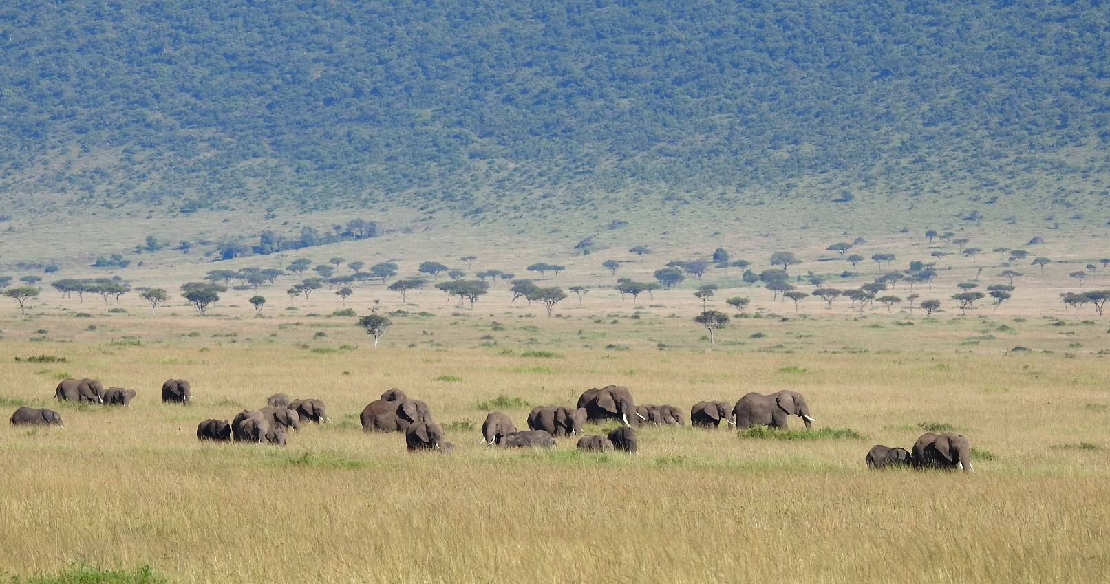Elephant rumbles are low-frequency vocalizations that can travel up to several kilometers and could enable large dispersed herds like this one in Kenya to stay in touch.