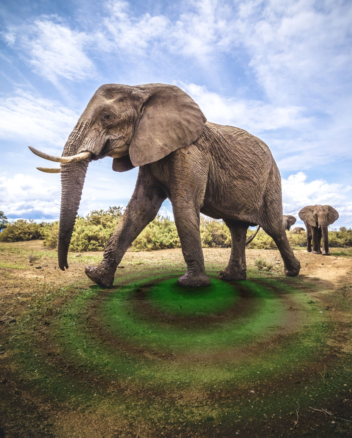 An image showing an African elephant with a visualization of the vibrations it generates while walking.