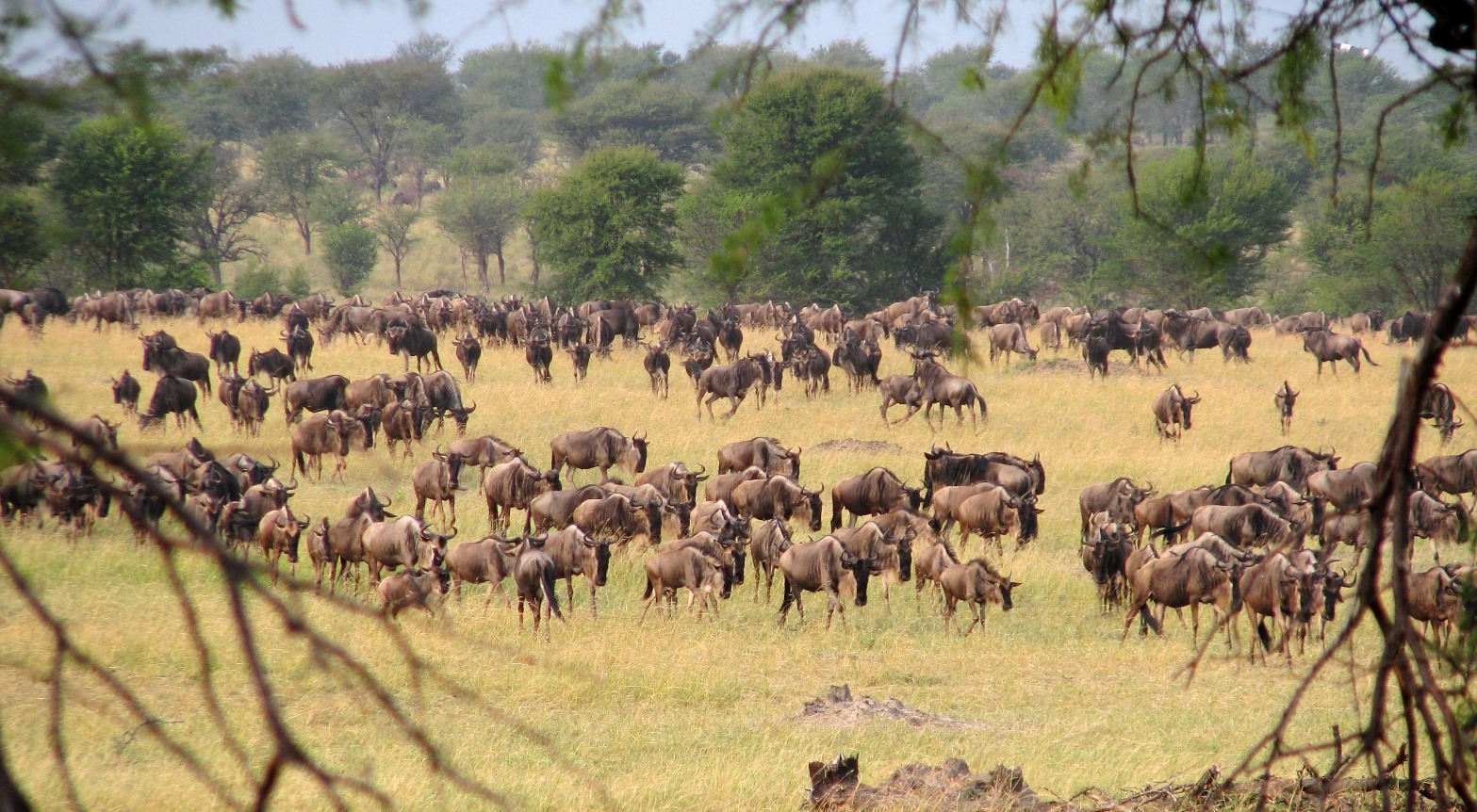 Snapshot of the massive migration of over one million wildebeest, as well as tens of thousands of gazelles, zebra, and eland, from Serengeti National Park in Tanzania to Maasai Mara in Kenya is an ecological phenomenon that draws over 140,000 visitors per year.