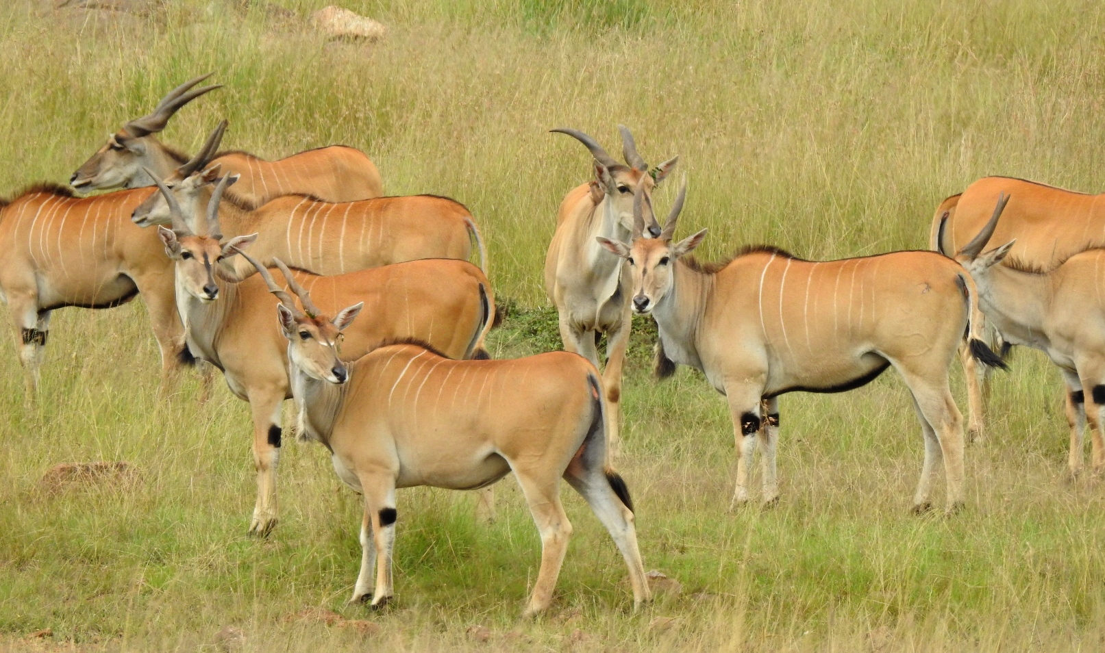 Elands are the world's largest antelope and join the Serengeti-Mara migration, though in smaller numbers than gazelles or wildebeest.