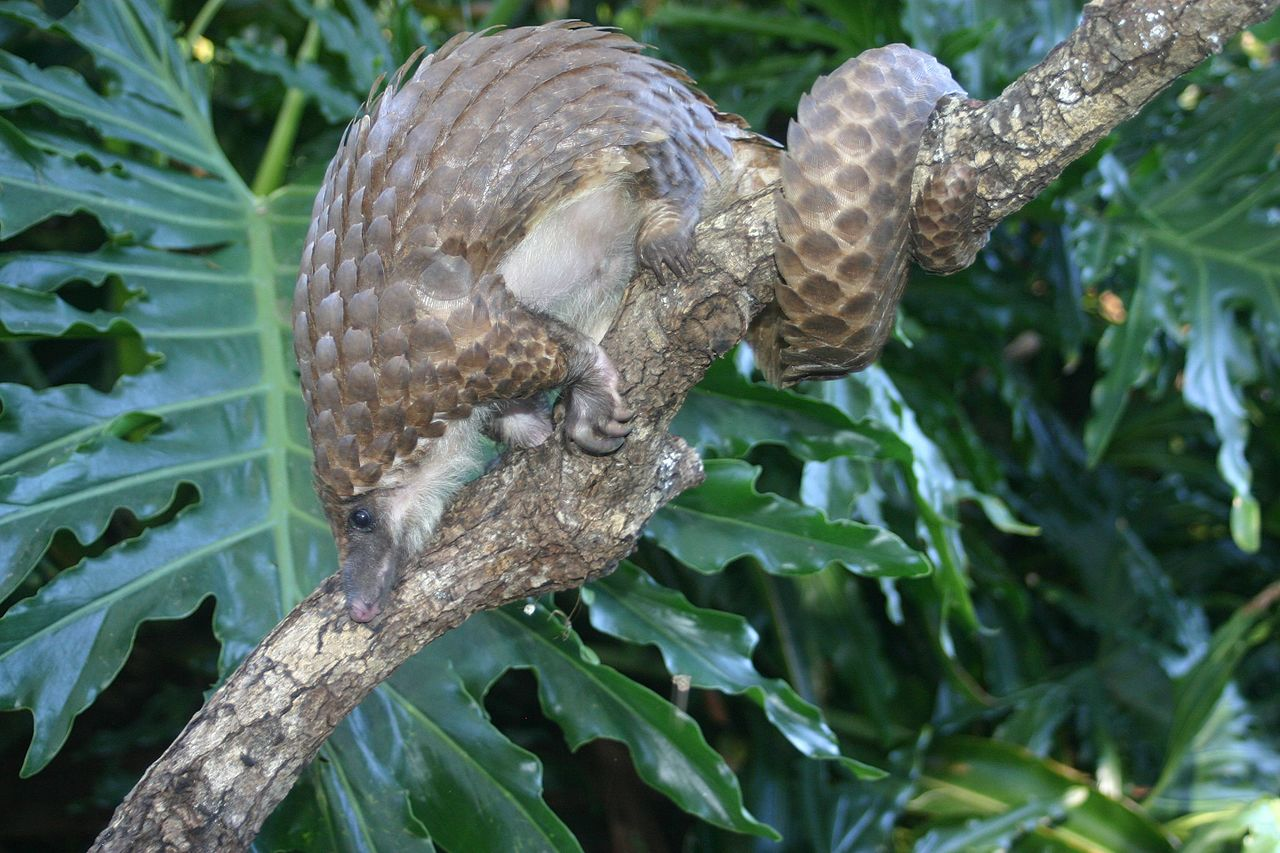 A white-bellied pangolin, one of eight pangolin species. Also called scaly anteaters, pangolins are the world's most trafficked mammal. Their scales, which are sold for supposed healing properties in Asian medicine, are actually made of keratin, the protein that also makes up hair, nails, hooves, horns, and claws. The scales have no known medicinal value.