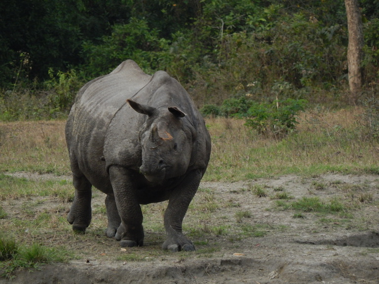 One of Jaldapara National Park's resident greater one-horned rhinos. Large, easy to spot and with horns that command immense prices on the black market, rhinos are a prime target for poachers. Photo credit: Ratan Roy