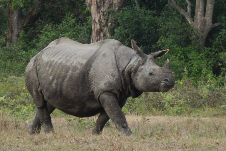 In unsuspecting Indian villages, the international rhino horn trade takes a toll