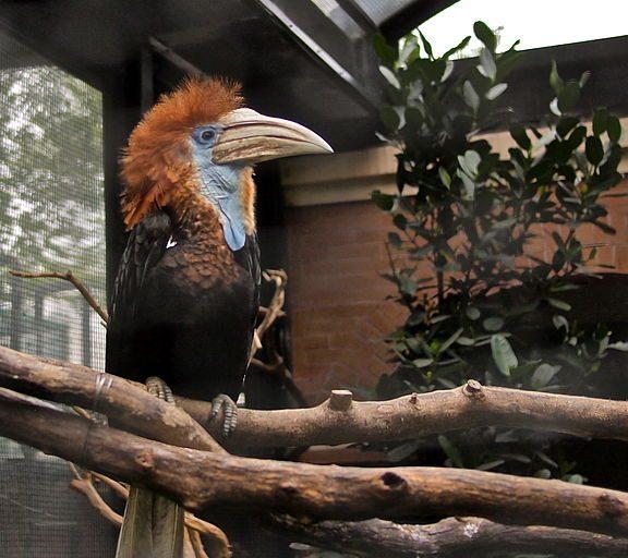 576px-Ceratogymna_elata_-Hong_Kong_Zoo-8a1