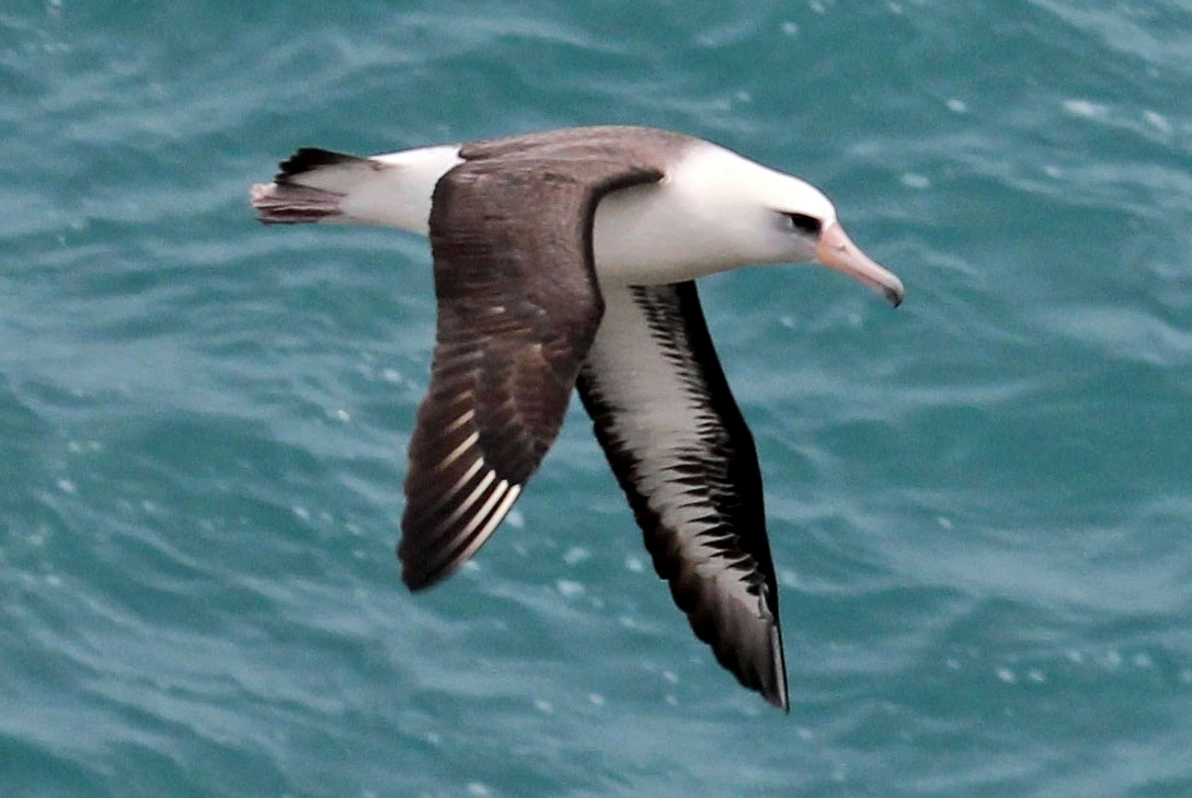 Although albatrosses, like this Laysan albatross, spend most of their time at sea, they nest on open, grassy or sandy expanses of islands. Rats, cats, dogs, and other introduced predators kill nesting birds and chicks, so scientists are studying how populations of these birds respond to eradication of these invasive species