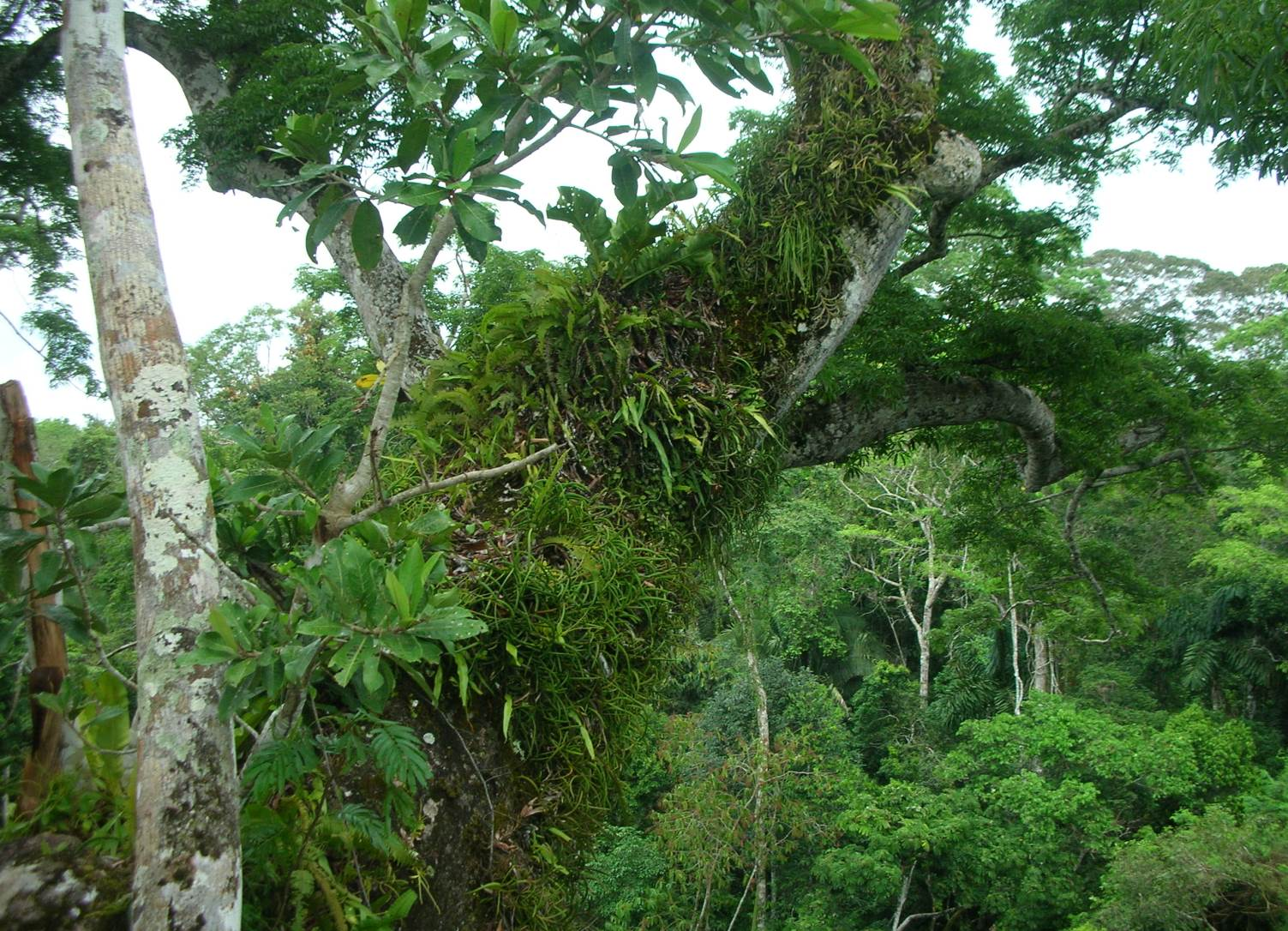 Epiphytes decorate the branch of a canopy emergent tree in the tropical broadleaf forest of Madre de Dios, Peru.