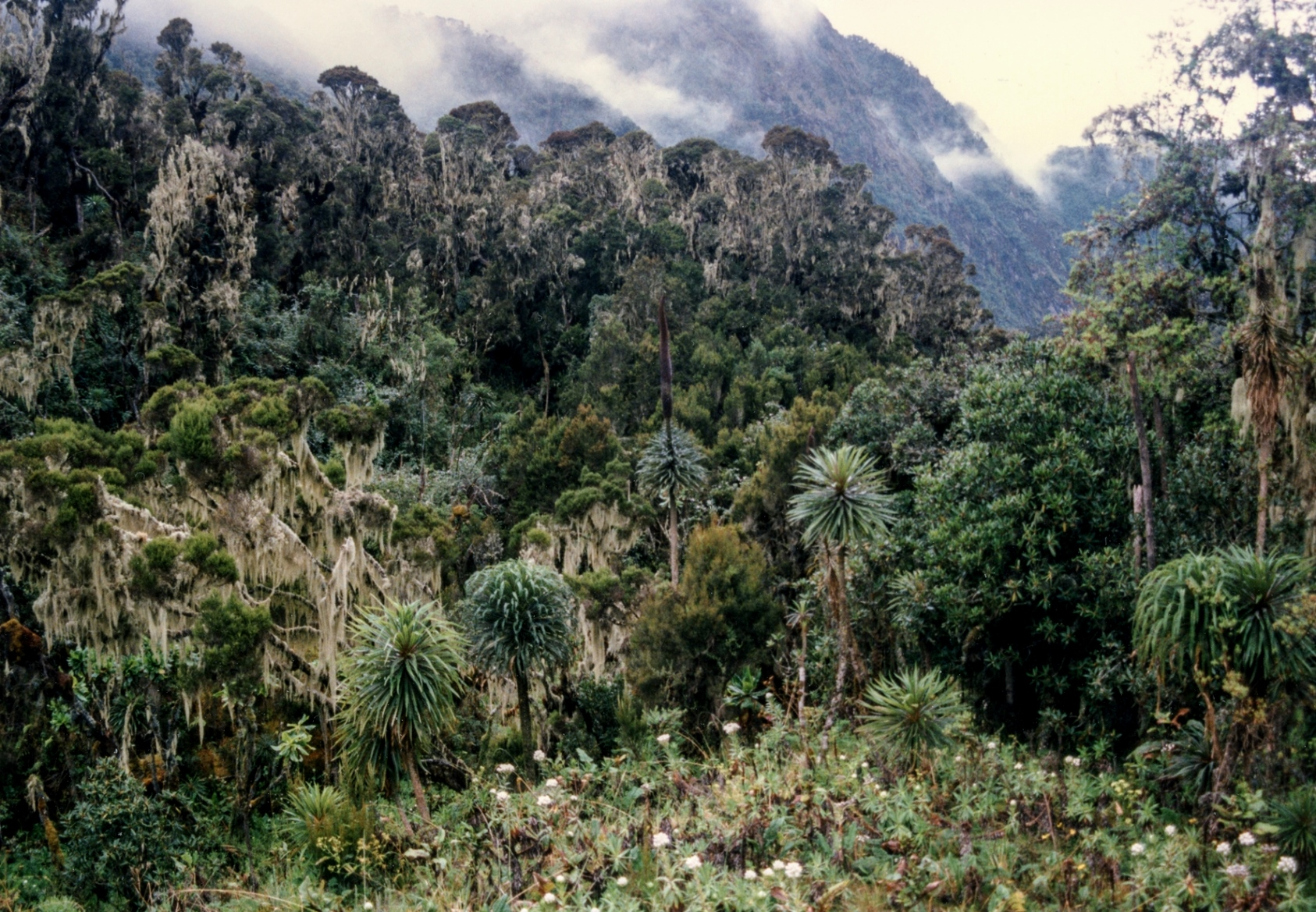 Montane forest in Uganda's Rwenzori Mountains covers difficult terrain with a unique tree and shrub community.