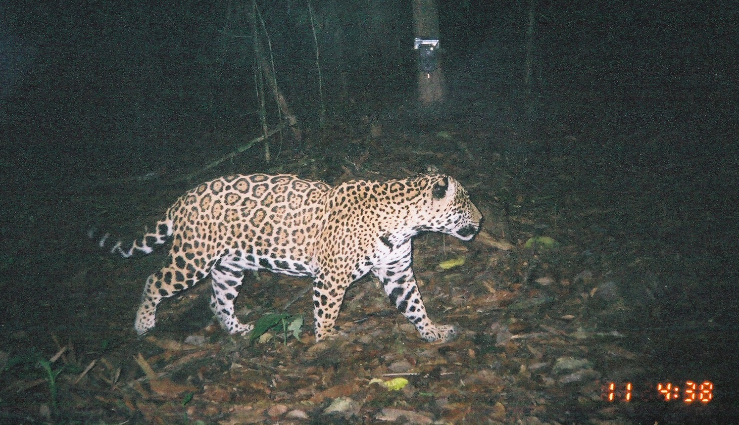 Camera traps have increasingly been used to monitor nocturnal or cryptic wildlife, such as this jaguar roaming the rainforest, or intruders into natural areas. As technologies such as remote cameras become easier to use, more rugged, and more affordable, their potential audience increases.