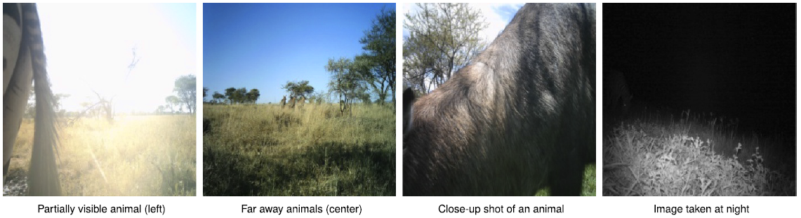 Lighting conditions, subjects at varying distances moving at different speeds, and other factors make identifying animals in the wild hard even for humans (trained volunteers achieve 96.6 percent accuracy vs. experts).