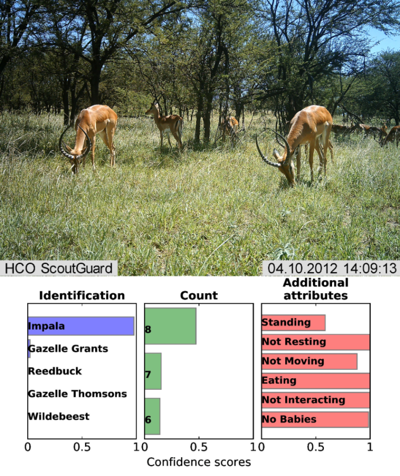 Deep neural networks (DNNs), a cutting-edge form of artificial intelligence, can successfully identify, count, and describe animals in camera-trap images. Above the image: The groundtruth, human-provided answer (top line) and the prediction (second line) by a DNN. The three plots below the image, from left to right, show the neural network's prediction for the species, number, and behavior of the animals in the image. The horizontal color bars indicate how confident the neural network is about its predictions.