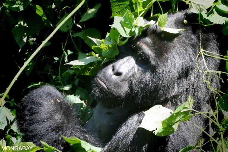 Mountain gorilla in neighboring Bwindi Impenetrable National Park, Uganda. Photo for Mongabay.com by Rhett A. Butler.