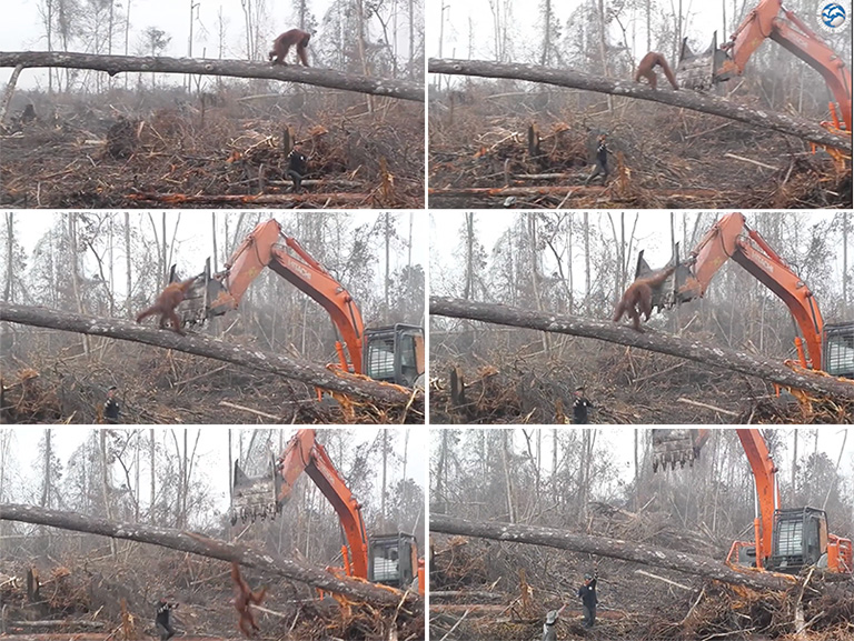 Facebook video shows orangutan defending forest against bulldozer