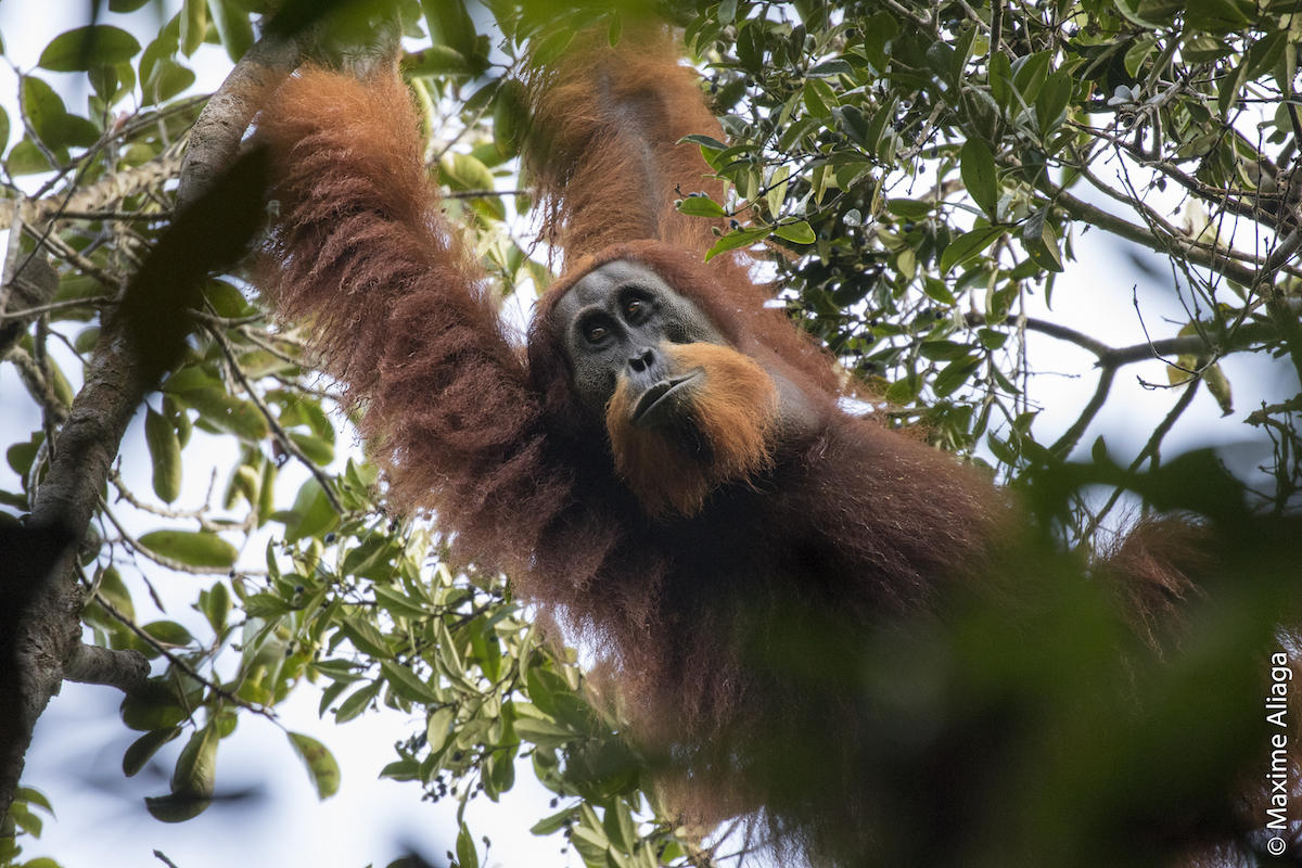 Sumatra's dwindling forests face extra pressure from a major highway project