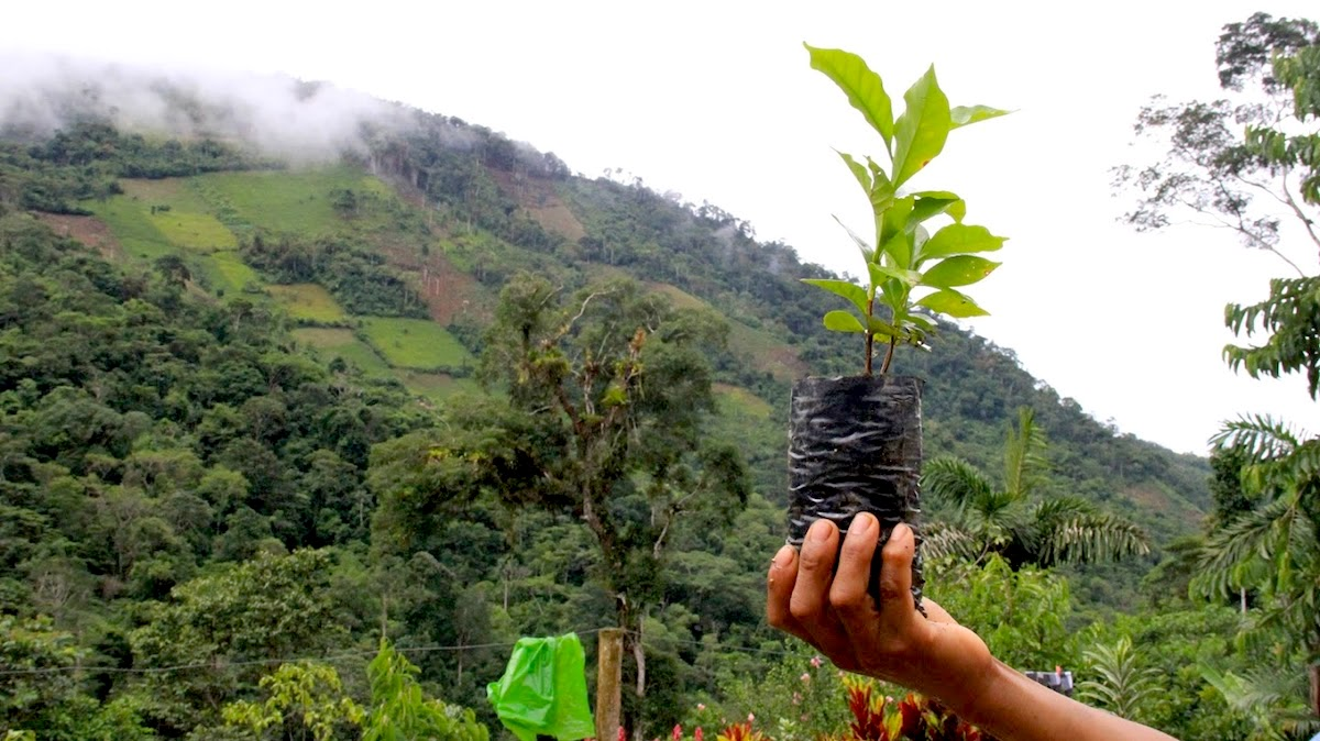 In Peru, coca puts one of the world's best coffee crops at risk