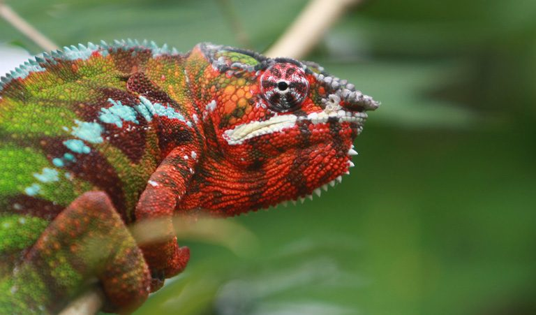 Pardalis chameleon (Furcifer pardalis), a resident of the Masoala Peninsula in northeastern Madagascar, where illegal rosewood logging has taken a heavy toll on forests. Image by Rhett A. Butler.