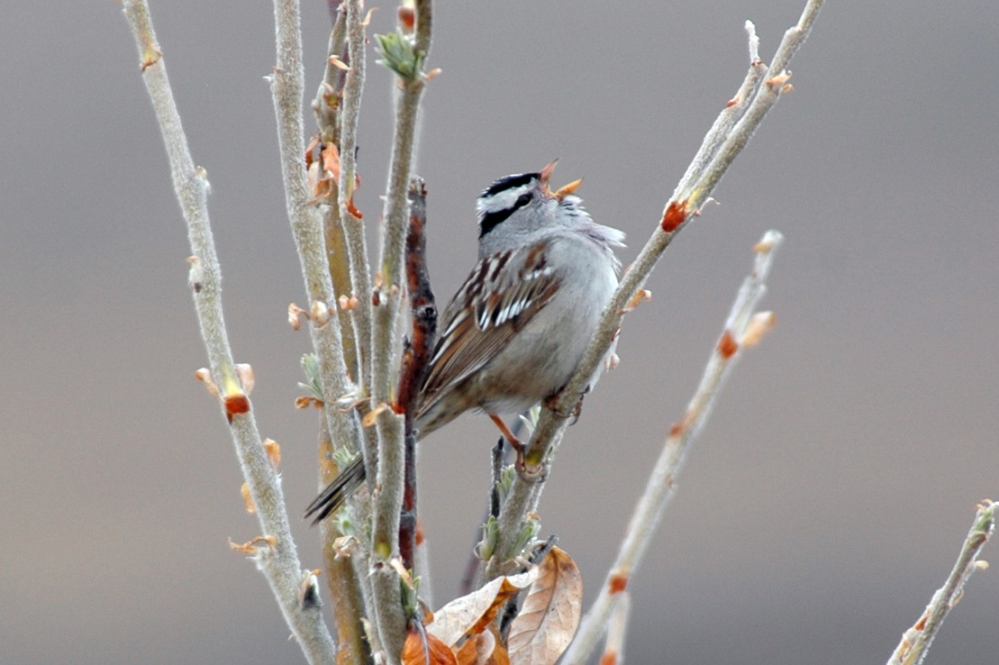 Gambel's white-crowned sparrows, like this one, prefer woody shrubs. As the Arctic continues to warm, shrubs on Alaska's North Slope are expected to overtake open grasslands. That could create conditions for sparrows to outcompete longspurs and other migratory birds.