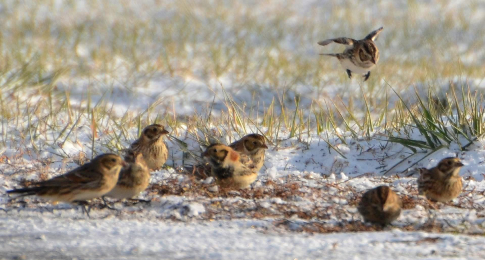 Migratory lapland longspurs endure the cold en route to their breeding grounds.