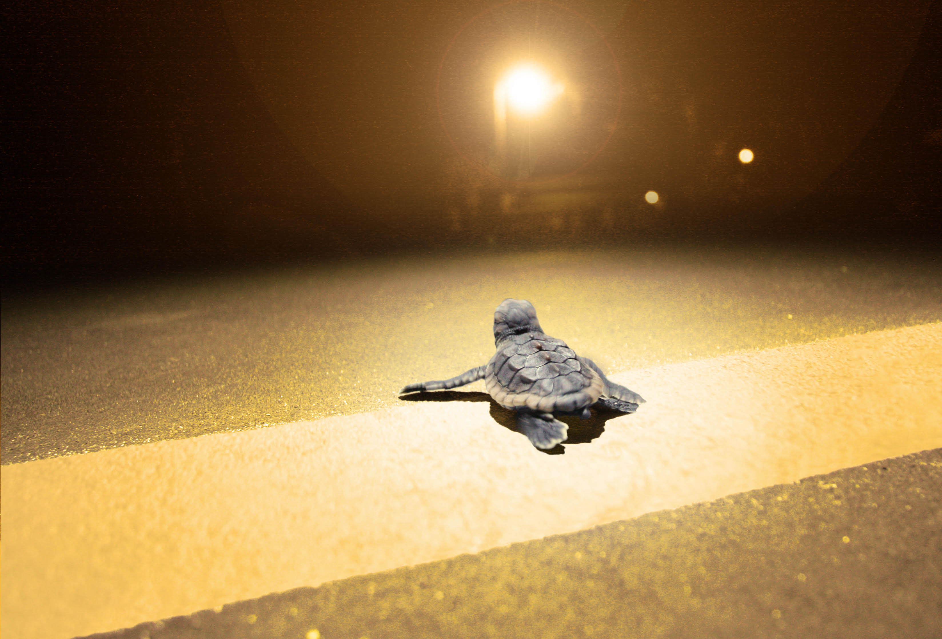 A hatchling loggerhead sea turtle in Florida, USA, moves away from the sea and toward high-pressure sodium roadway lighting.