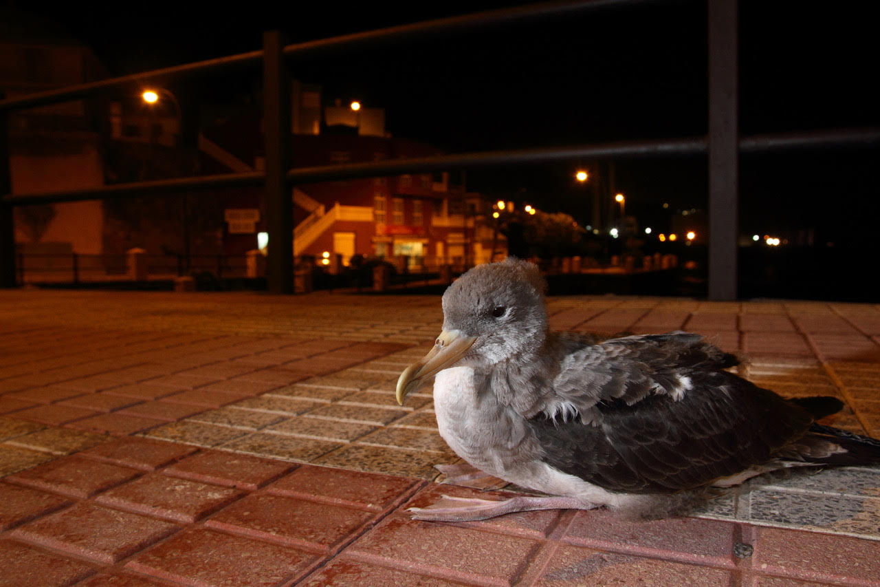 A grounded Cory's Shearwater that was attracted to the city lights of Tenerife, Canary Islands.