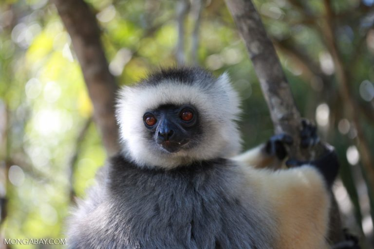 A critically endangered diademed sifaka (Propithecus diadema), one of nine lemur species that live in the rainforest where the Ambatovy mine was established. Image by Rhett A. Butler.