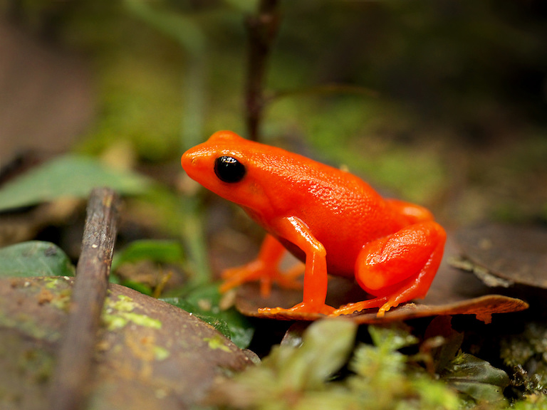 A critically endangered golden frog (Mantella aurantiaca), a species that lives in the rainforest where the Ambatovy mine was established that the company has worked to conserve. Image by Frank Vassen via Flickr (CC BY 2.0).