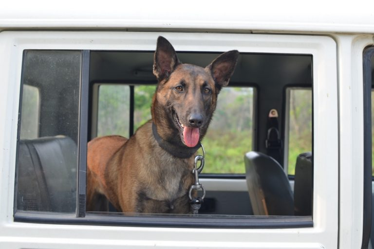 K9-squad member Bubbly arrives for her field duty. Photo credit: Aaranyak