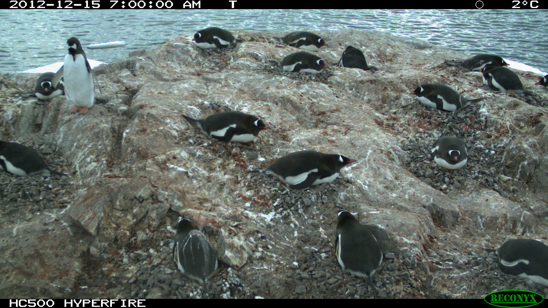 Gentoo penguins nesting at Port Lockroy, Antarctic Peninsula — one of hundreds of thousands of Penguin Watch time-lapse images.