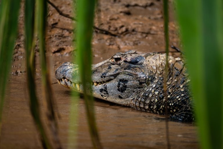 The once threatened black caiman (Melanosuchus niger) is recovering and now listed as 'conservation dependent' on the IUCN Red List. Photo courtesy Jason Houston/Upper Amazon Conservancy.