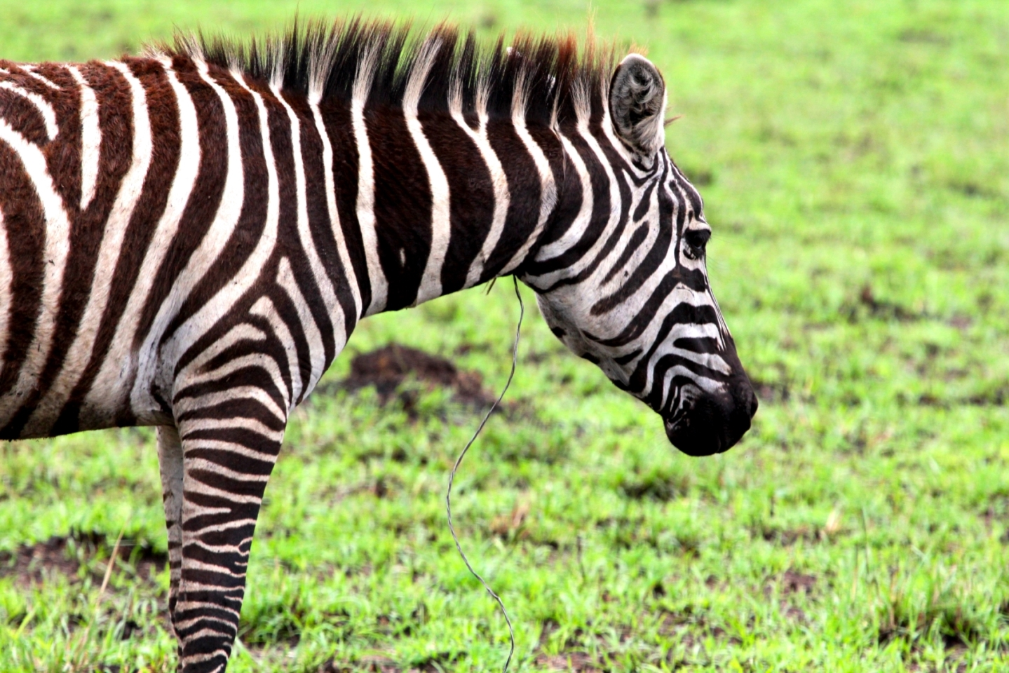 A zebra caught by a poacher's snare. Animals that survive capture in a snare endure injuries for the rest of their lives.
