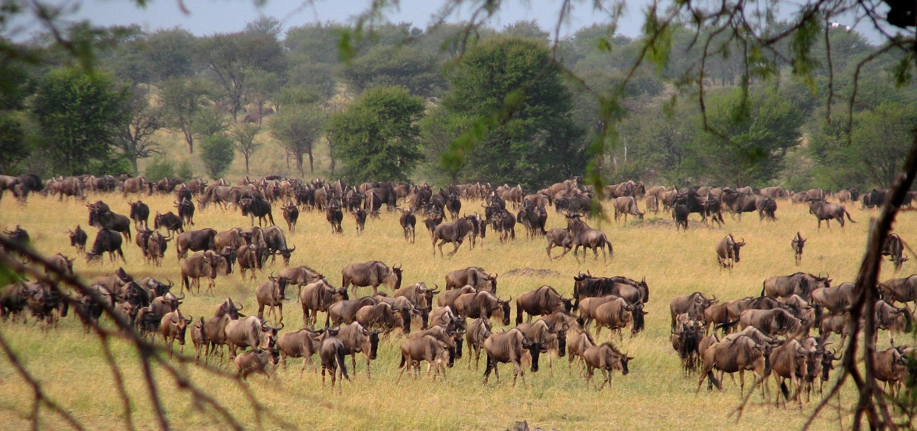 The wildebeest migration makes its way north from Serengeti National Park in Tanzania to Maasai Mara National Reserve in Kenya.