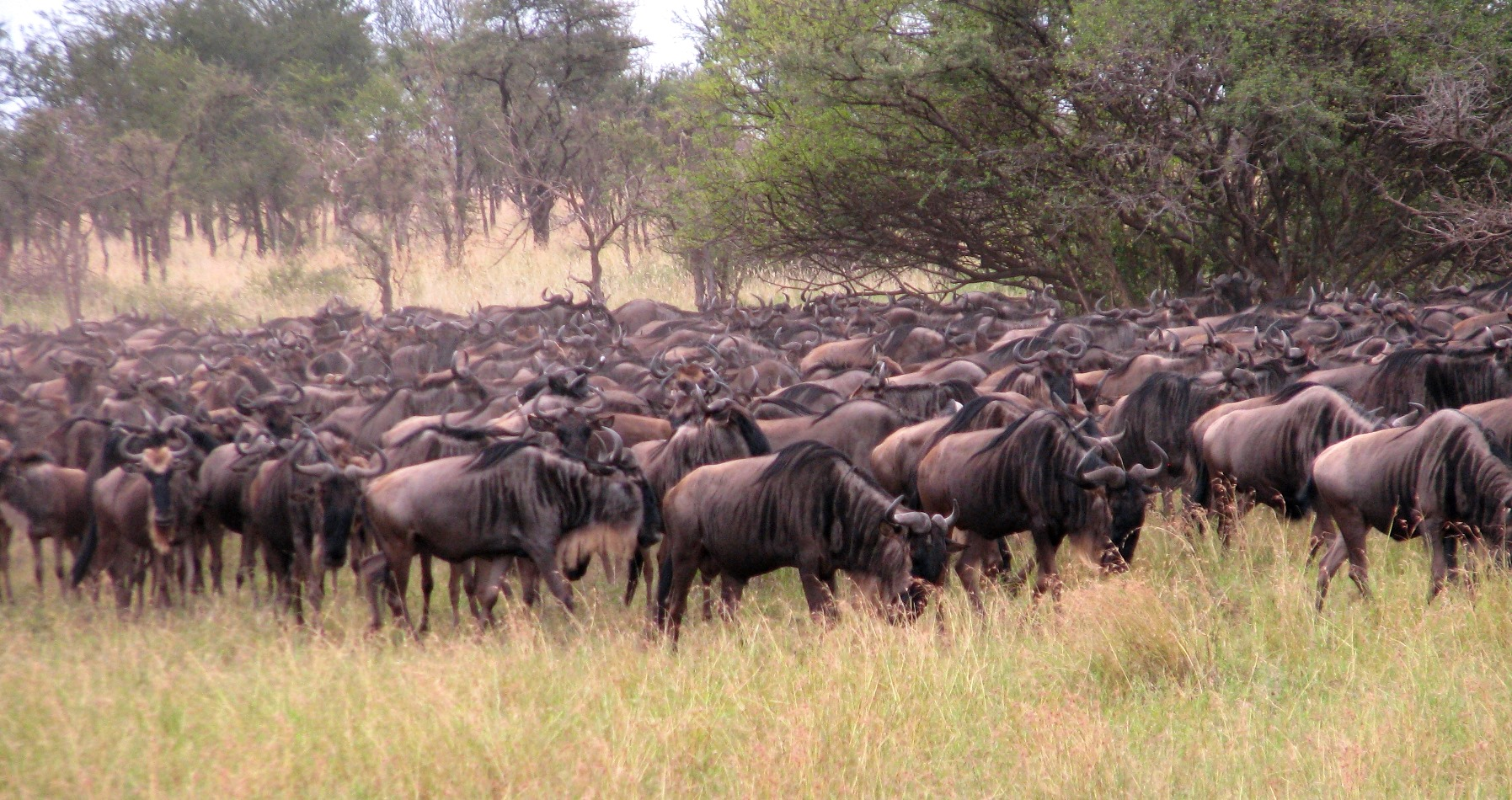 A few of the participants in the annual Serengeti-Mara wildebeest migration.