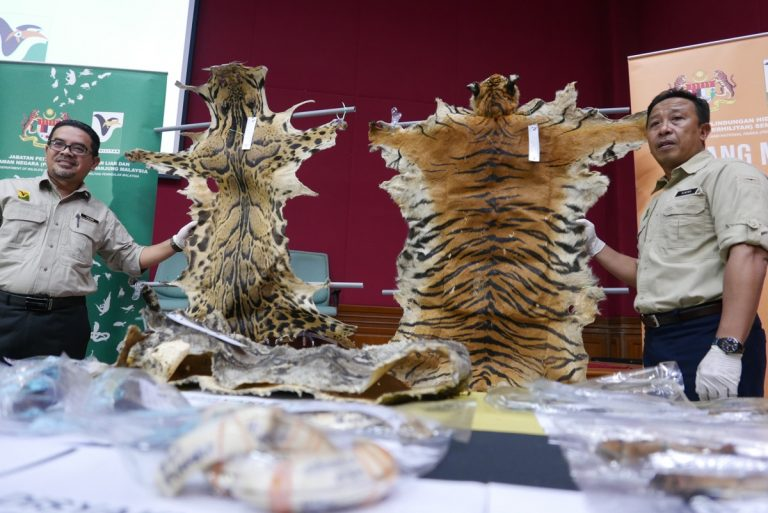 Skins of tigers and clouded leopards were among wildlife parts seized by Malaysian authorities. Image by Elizabeth John/TRAFFIC