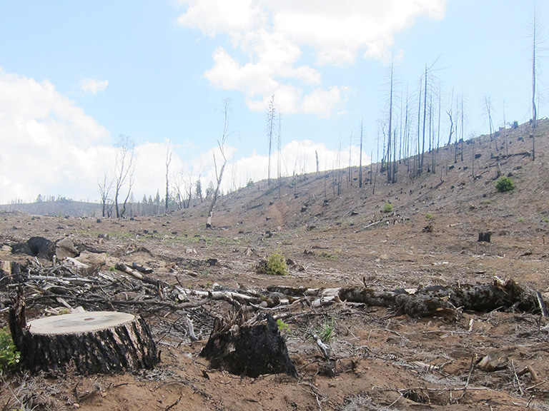 The carbon storage and ecological benefits of the snag forest habitat created by mixed-severity fire are destroyed when there is post-fire logging, as illustrated by this logging within the Rim Fire area. Photo by Doug Bevington.