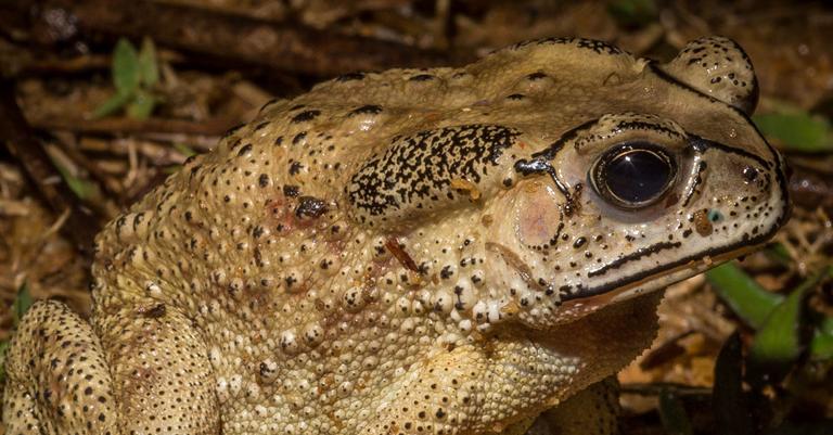 Madagascar's native fauna defenseless against toxic invasive toads