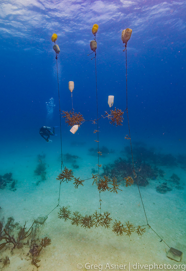 Coral reef restoration in the Dominican Republic. Photo by Greg Asner / DivePhoto.org