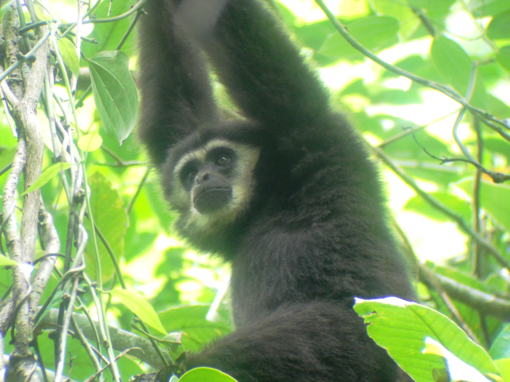 A White Handed Gibbon In Thailands Khao Yai National Park, Like