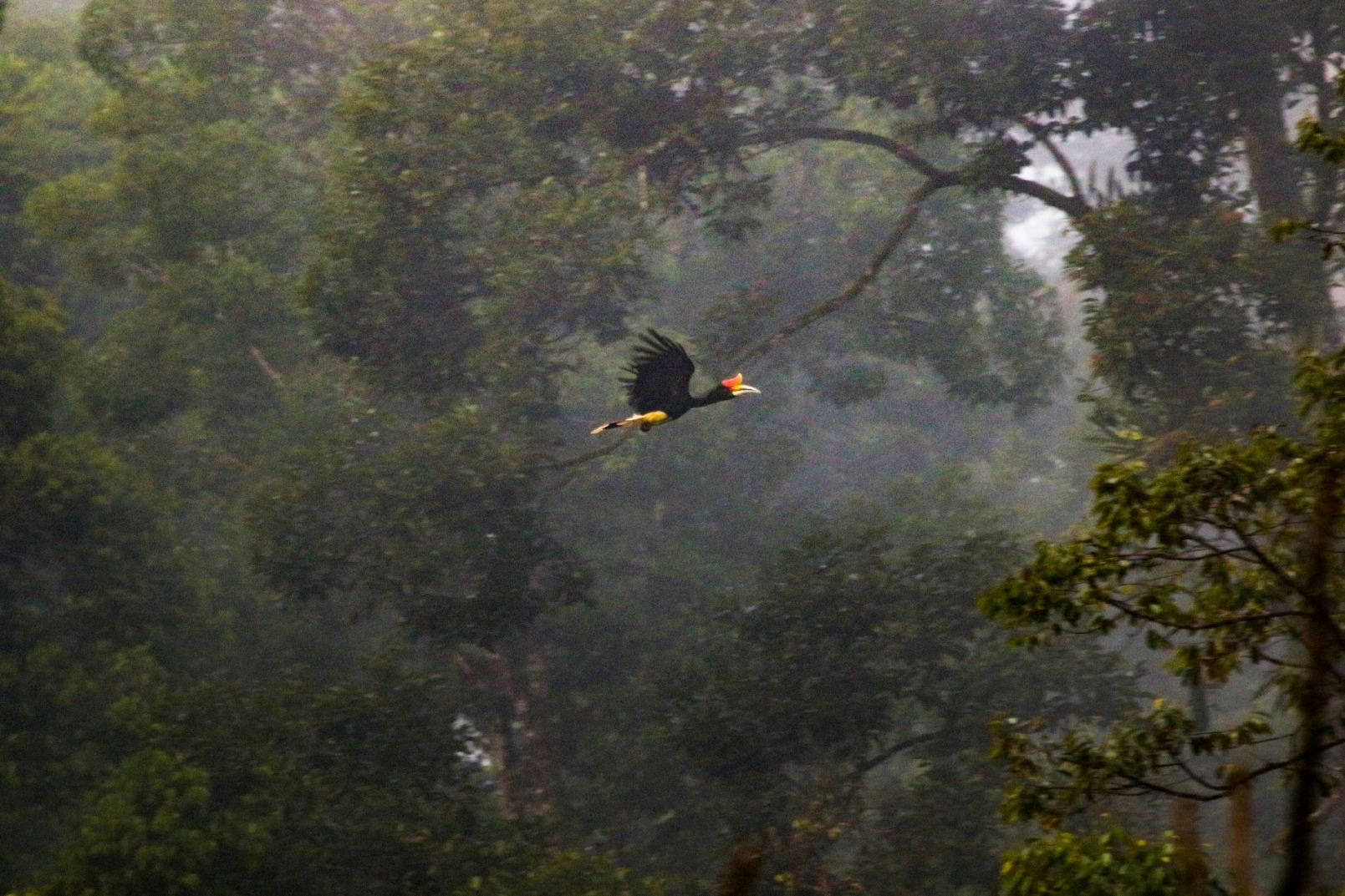 A rhinoceros hornbill flies through the forest canopy in Malaysian Borneo. These birds need extensive tracts of primary evergreen forest and nest in large trees.