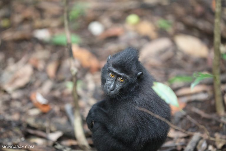 How a better understanding of psychopathology in captive primates can aid in conservation efforts